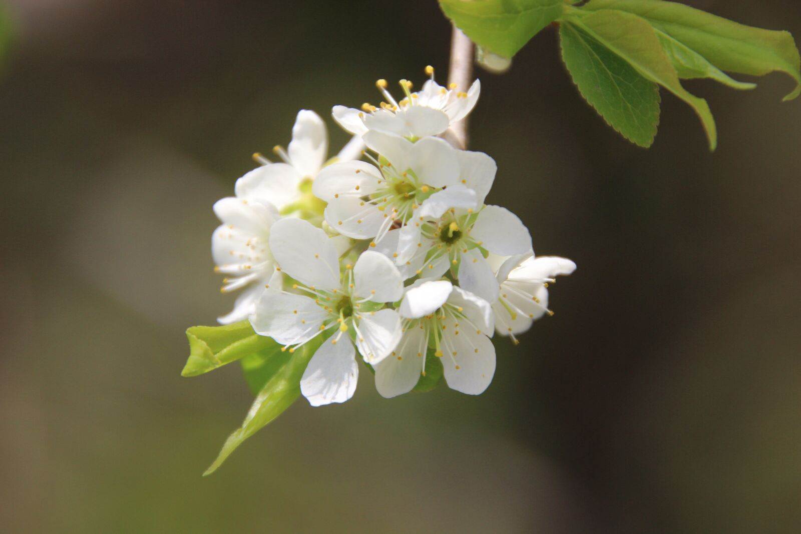 "Canon EOS 600D (Rebel EOS T3i / EOS Kiss X5) sample photo. ""Tree, flowers, plum blossom"" photography"