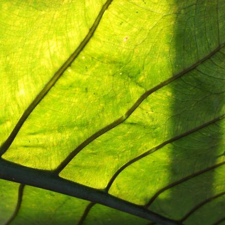 leaf, veins, green, Sony NEX-5