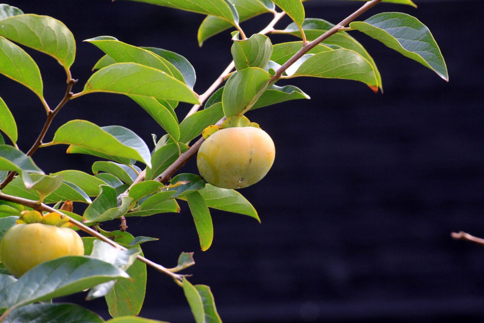 "Canon EOS 50D sample photo. ""Persimmon, autumn, fruit"" photography"