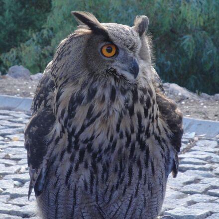 owl, eagle owl, ave, Sony DSC-W270