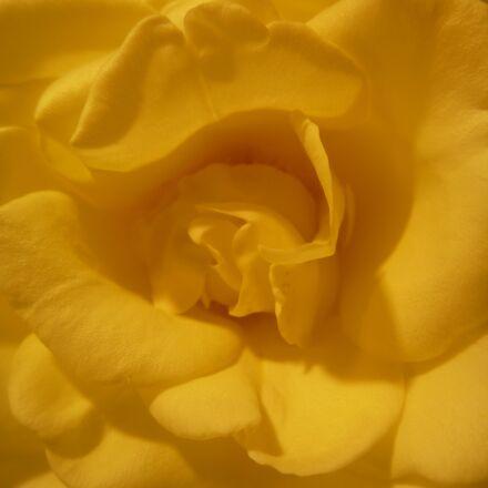 flower, petals, yellow, Panasonic DMC-TS2