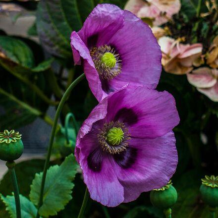 poppy, klatschmohn, poppy flower, Sony DSC-V3