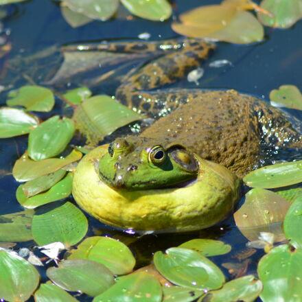 frog, green, nature, Nikon D5200