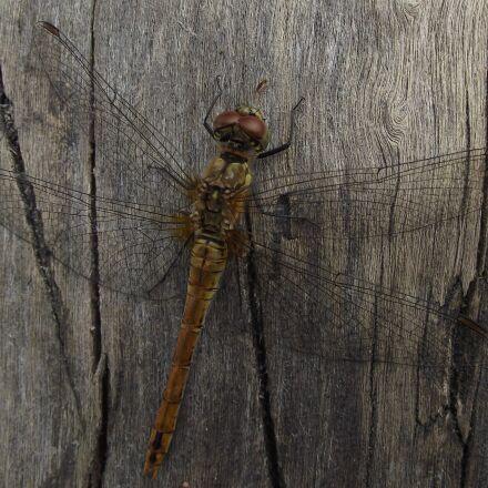 dragonfly, ważka, summer, Fujifilm FinePix S1800