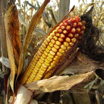corn, corn on the, Canon IXUS 155
