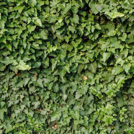 green, green leaves, ivy, Canon EOS 5D MARK III