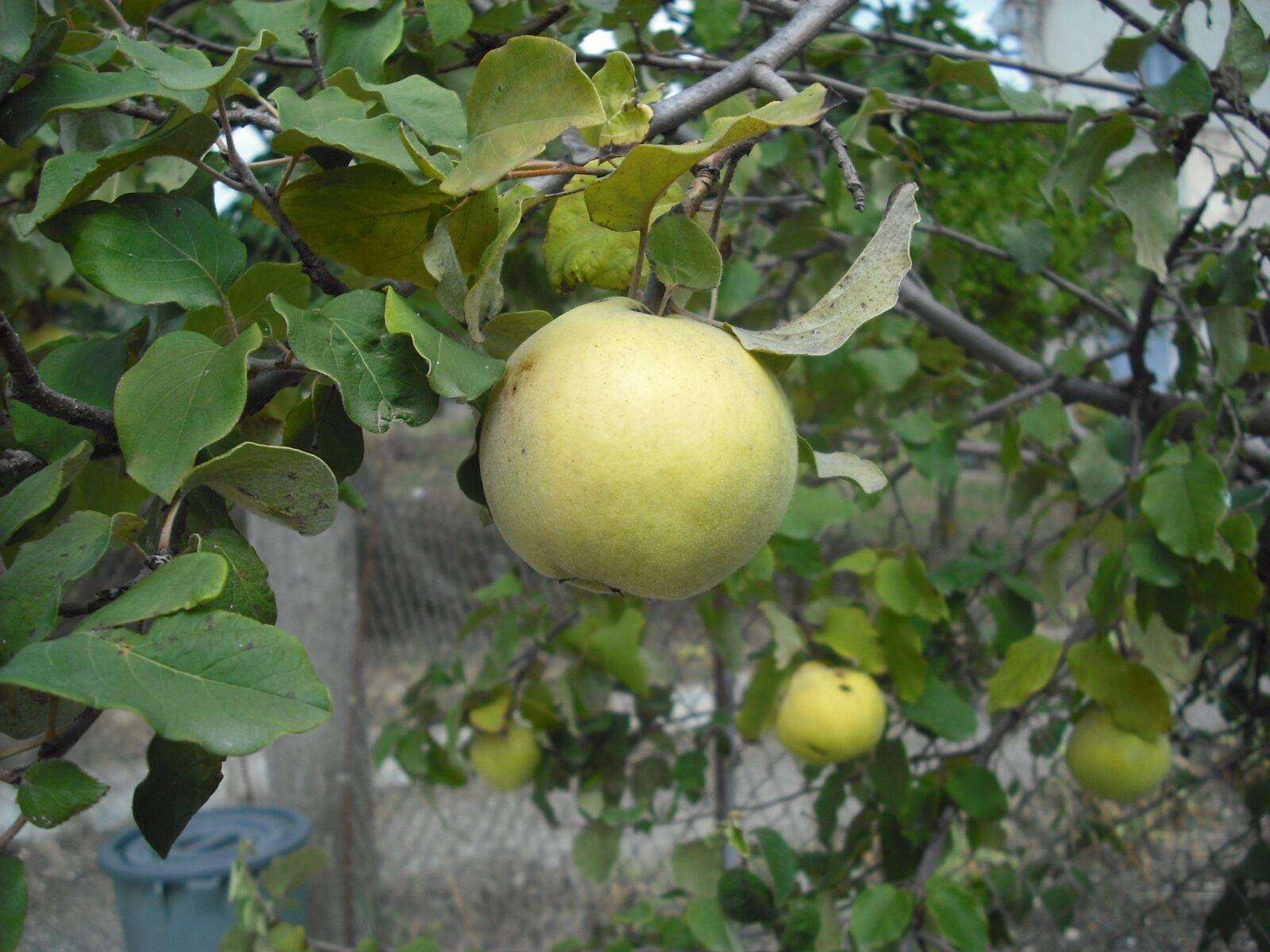 fruit, garden, fruit tree