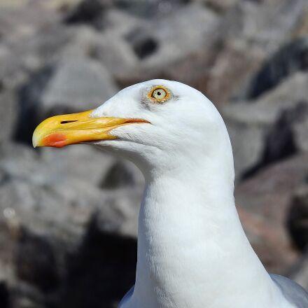 common tern, bird, beak, Nikon COOLPIX P900