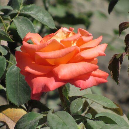 rose, flower, blossom, Canon POWERSHOT SX520 HS