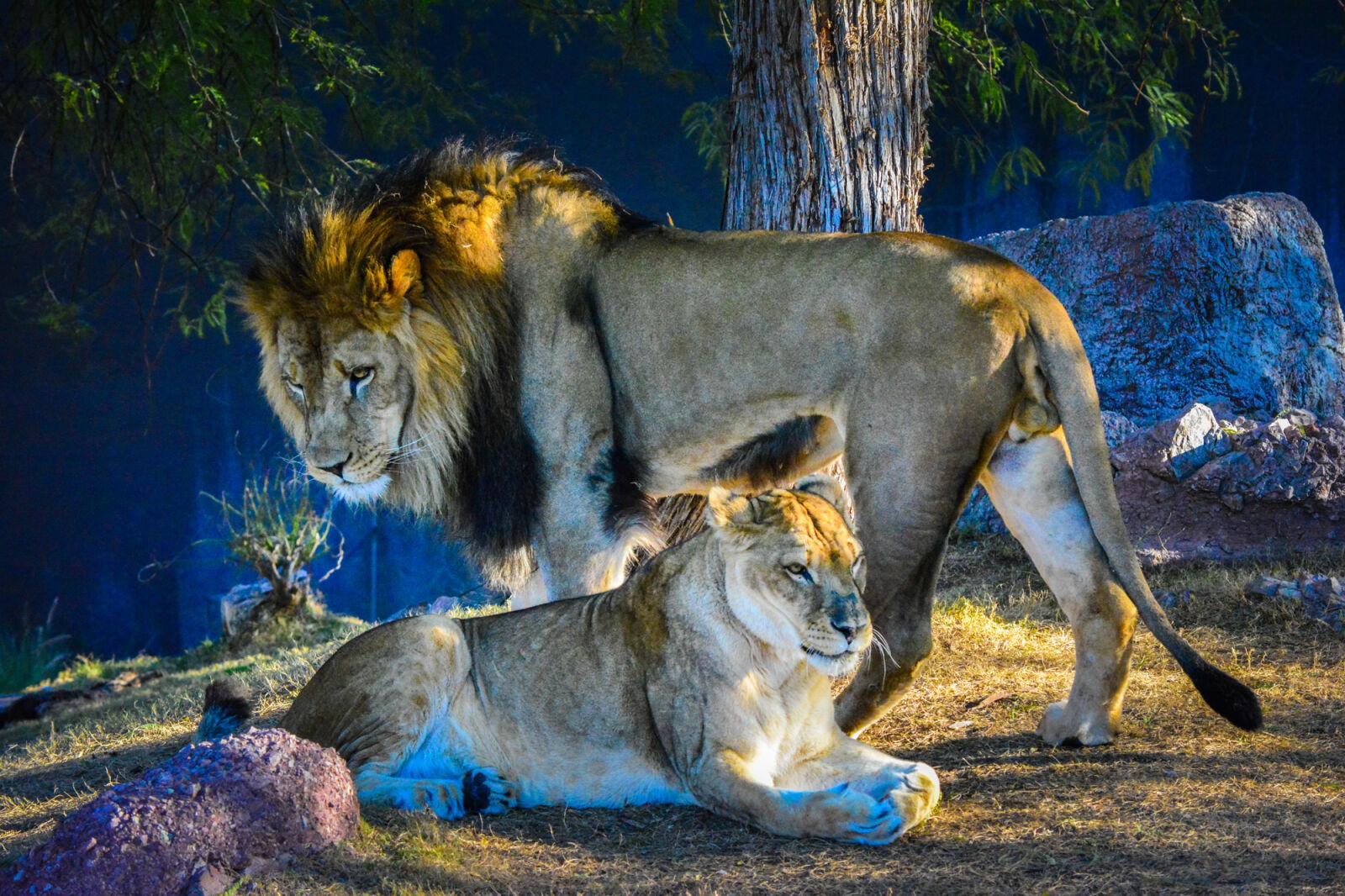 "Nikon D5200 sample photo. ""Bigcat, bigcats, femalelion, growl"" photography"