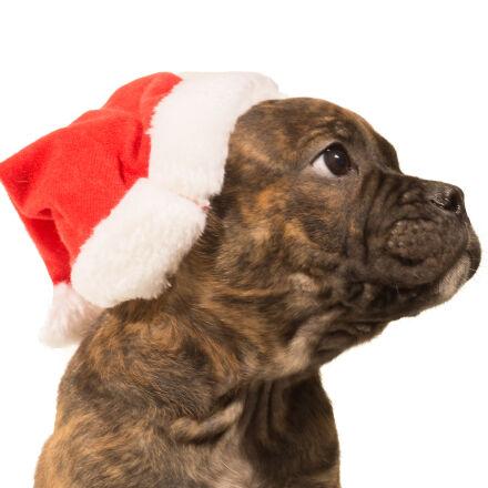 animal, bulldog, christmas, dog, Sony SLT-A58