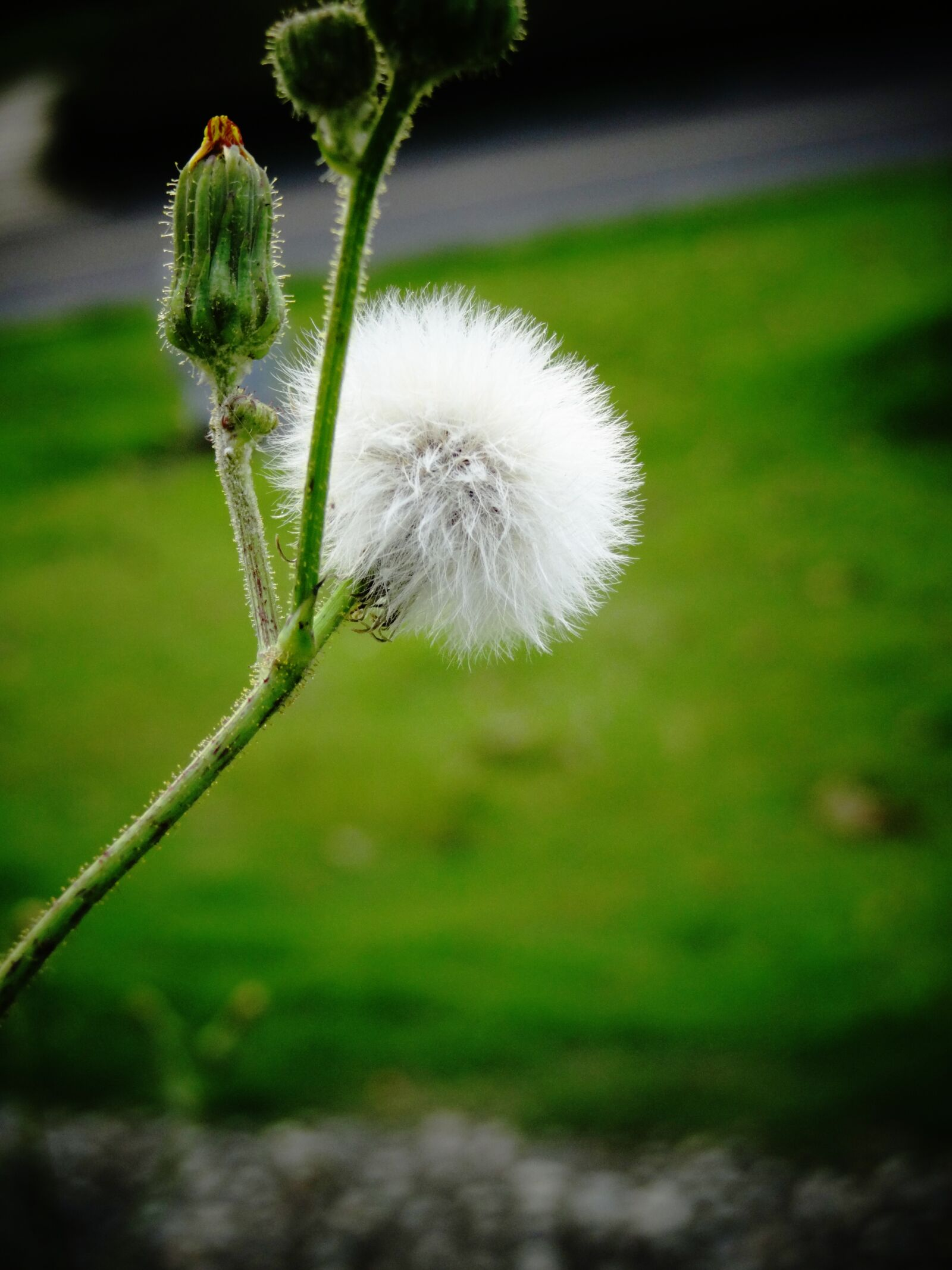 plant, hairy, photography