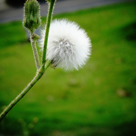 plant, hairy, photography, Sony DSC-HX10