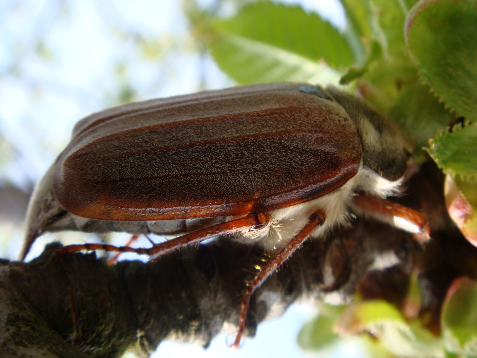 beetle, beetle brown, insect