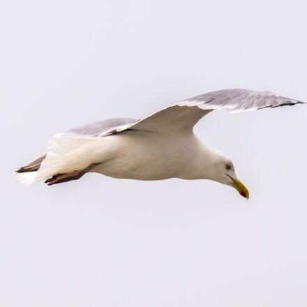 herring gull, seagull, bird, Olympus E-5