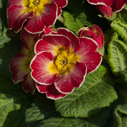 primroses, spring, flowers, Pentax K10D