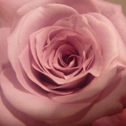 beautiful, rose flower, petals, Panasonic DMC-TS2
