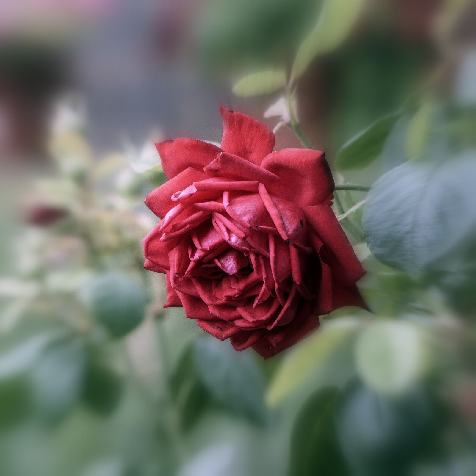 """Sony a6000 sample photo. """"Rosa, flower, nature"""" photography"""