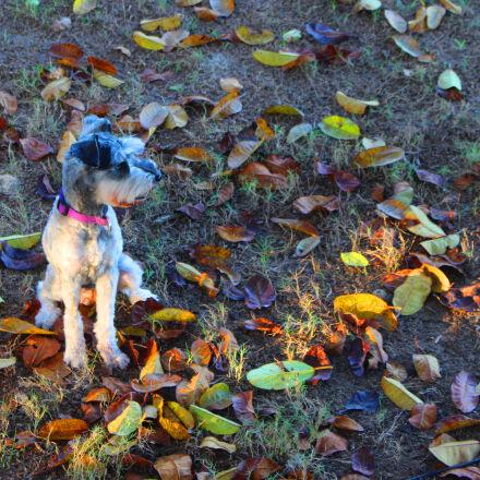 autumn, dog, schnauzer, Canon EOS REBEL T5I