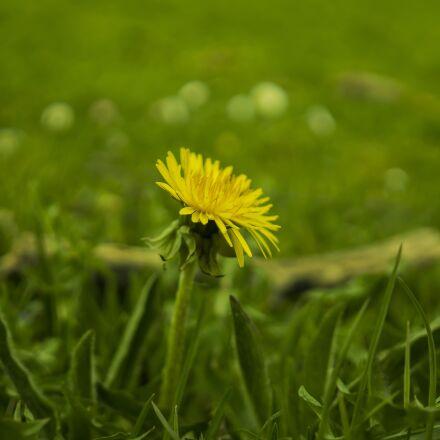 meadow, dandelion, yellow, Sony ILCE-6300