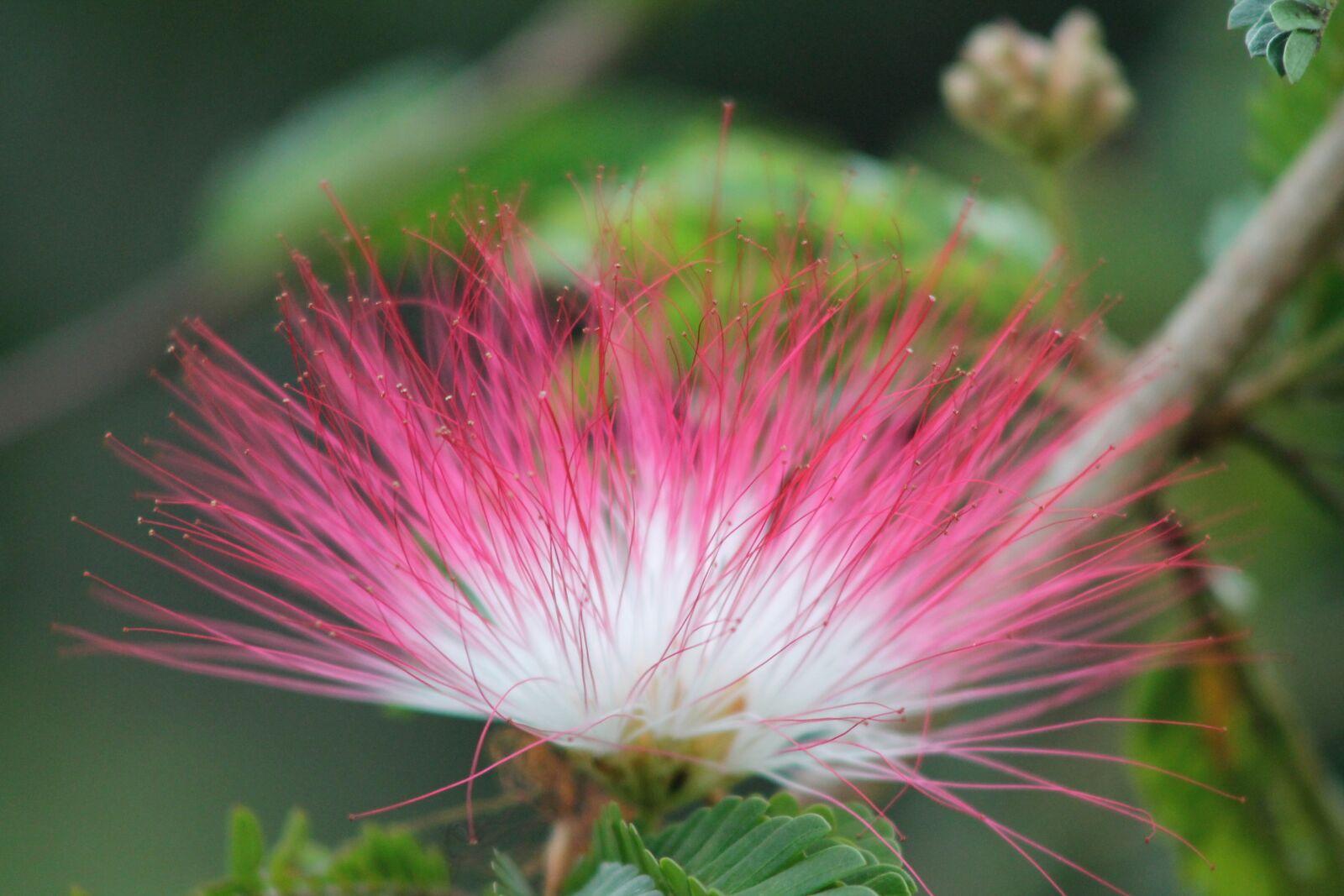 "Canon EOS 1100D (EOS Rebel T3 / EOS Kiss X50) sample photo. ""Flower, costa rica, tropical"" photography"