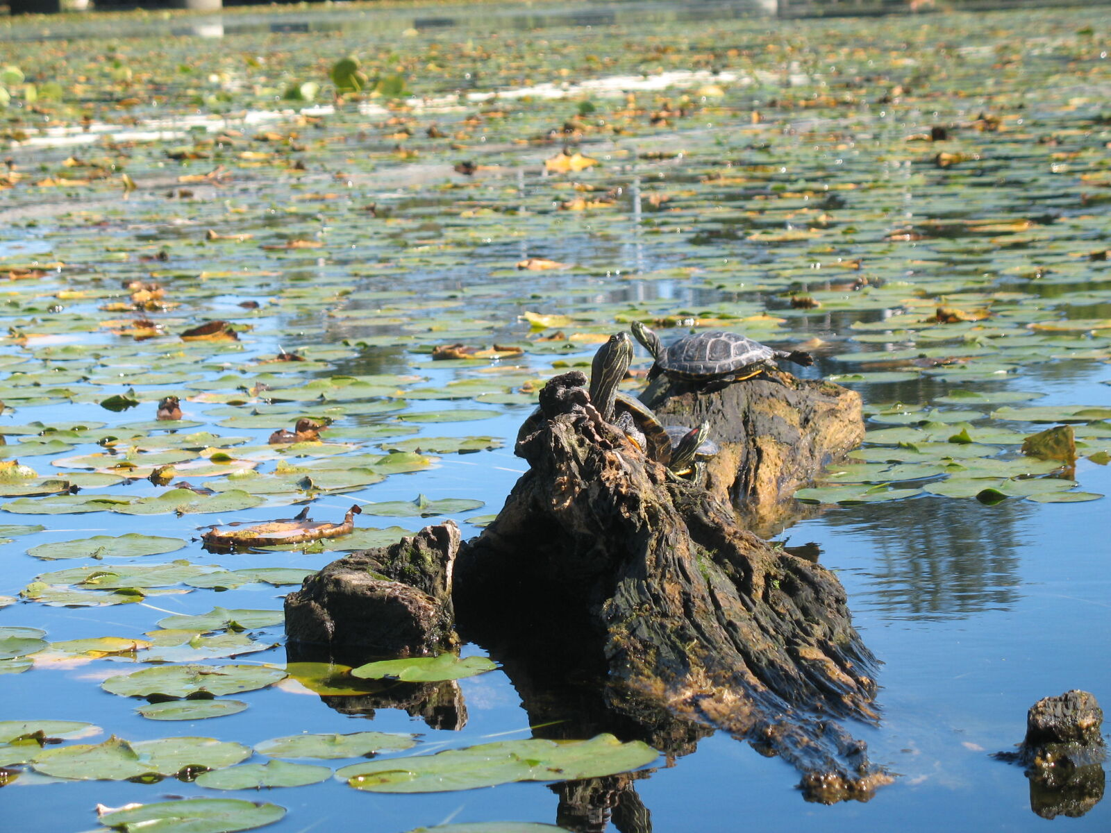 """Canon POWERSHOT A620 sample photo. """"Turtles"""" photography"""