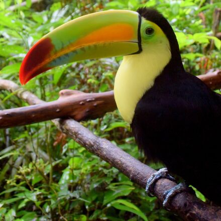 belize, belize zoo, toucan, Nikon 1 J4