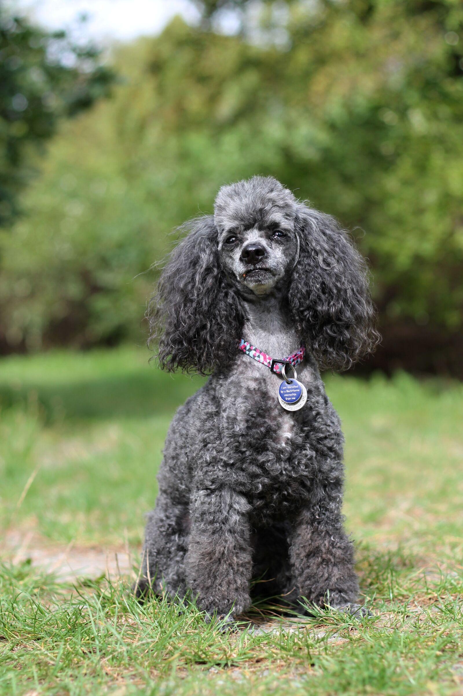 "Canon EOS 1100D (EOS Rebel T3 / EOS Kiss X50) sample photo. ""Poodle, dog, miniature poodle"" photography"