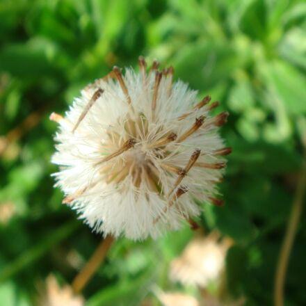 seed, dandelion, macro, Sony DSC-T20