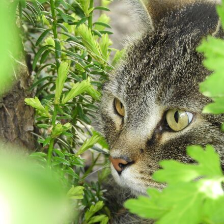 cat, eyes, lauer position, Nikon COOLPIX B700