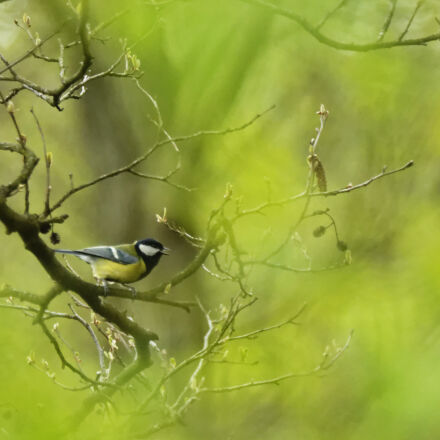 bird, tit, Nikon D3200