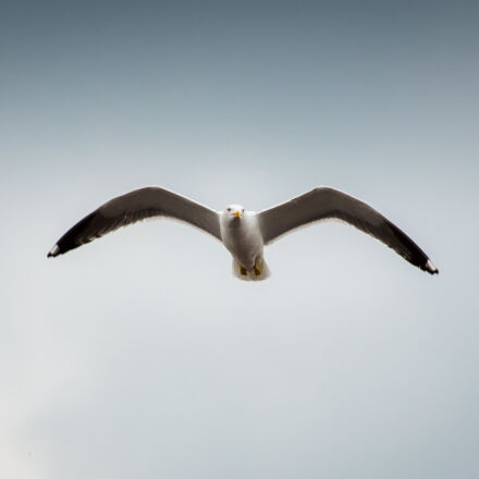 flight, bird, seagull, gull, Canon EOS 5D MARK III