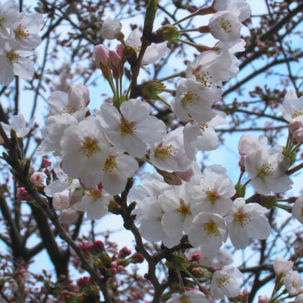 cherry blossoms, yoshino cherry, Canon IXY DIGITAL 910 IS