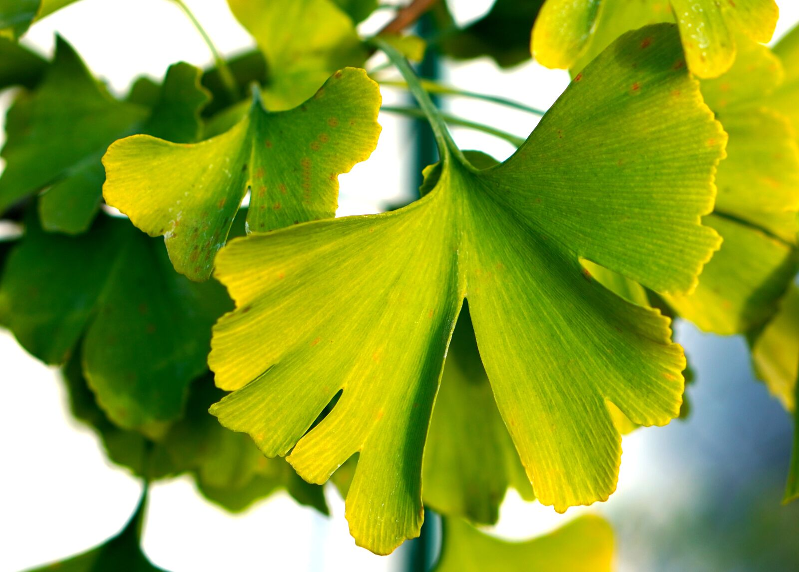 """Sony a6400 sample photo. """"Ginkgo, leaves, tree"""" photography"""