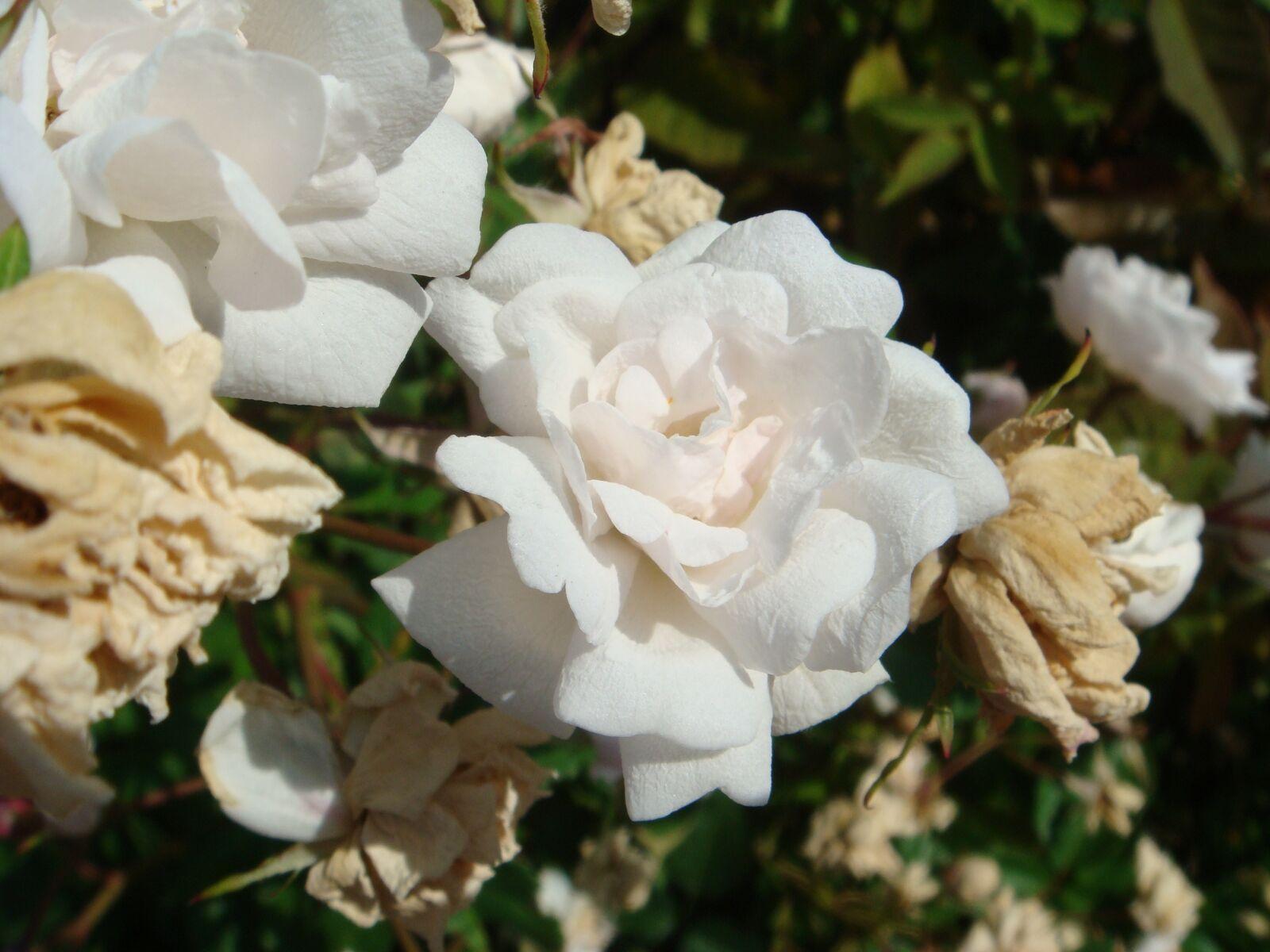 roses, white, macro