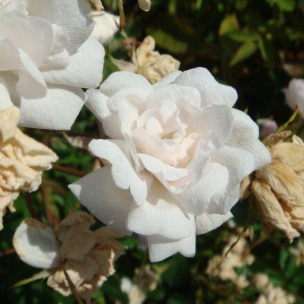 roses, white, macro, Sony DSC-T20