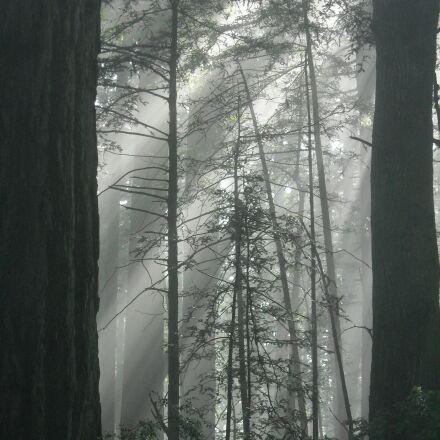 redwood, fog, sunlight, Nikon COOLPIX L18
