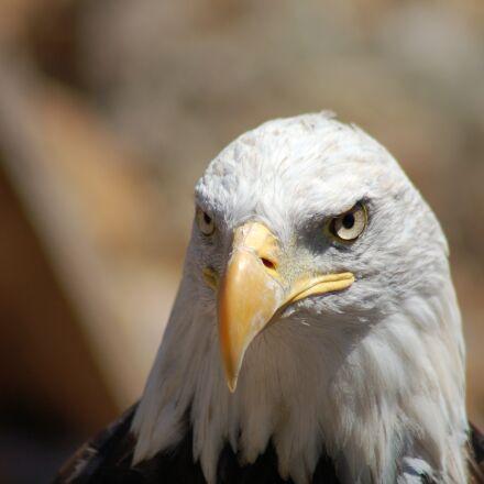 eagle, Nikon D50