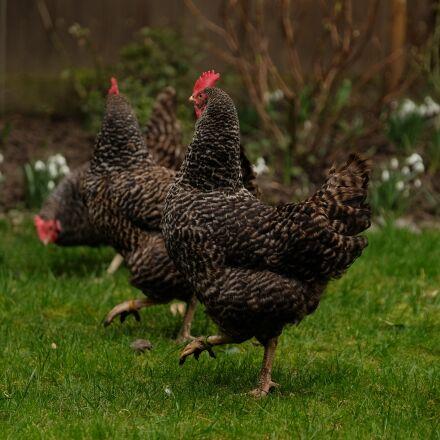 three chickens, chicken, out, Fujifilm X-T1