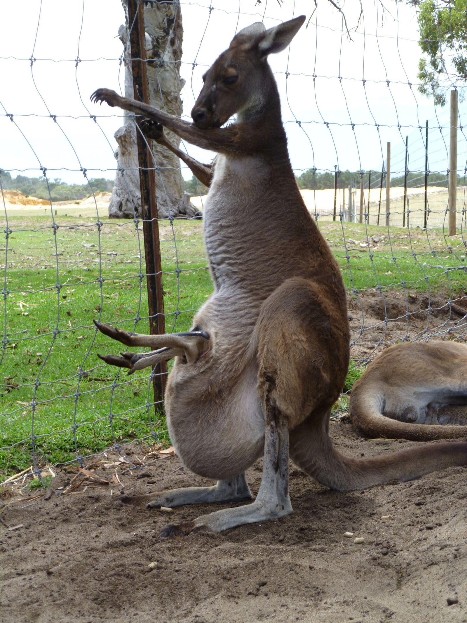 "Panasonic DMC-FH20 sample photo. ""Kangaroo, joey, australia"" photography"