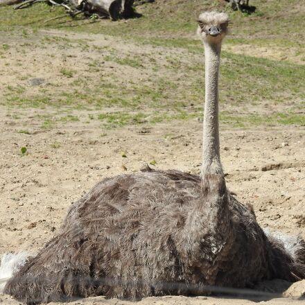 ostrich, zoo, bird, Nikon COOLPIX P900