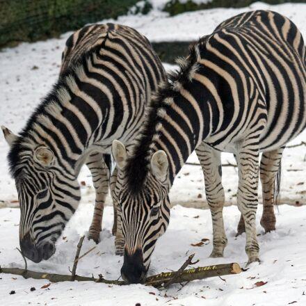 zebra, chapman steppe zebra, Sony ILCA-77M2