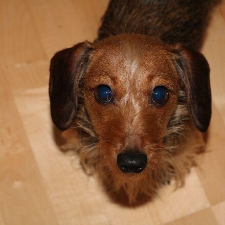 dachshund, dog, portrait, Canon EOS 750D