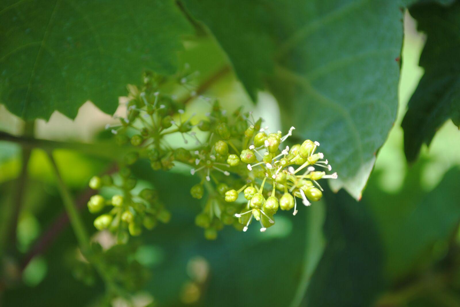 "Nikon D3000 sample photo. ""Flowering, june, wine"" photography"