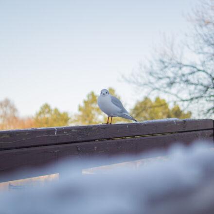 white, and, gray, bird, Sony SLT-A58
