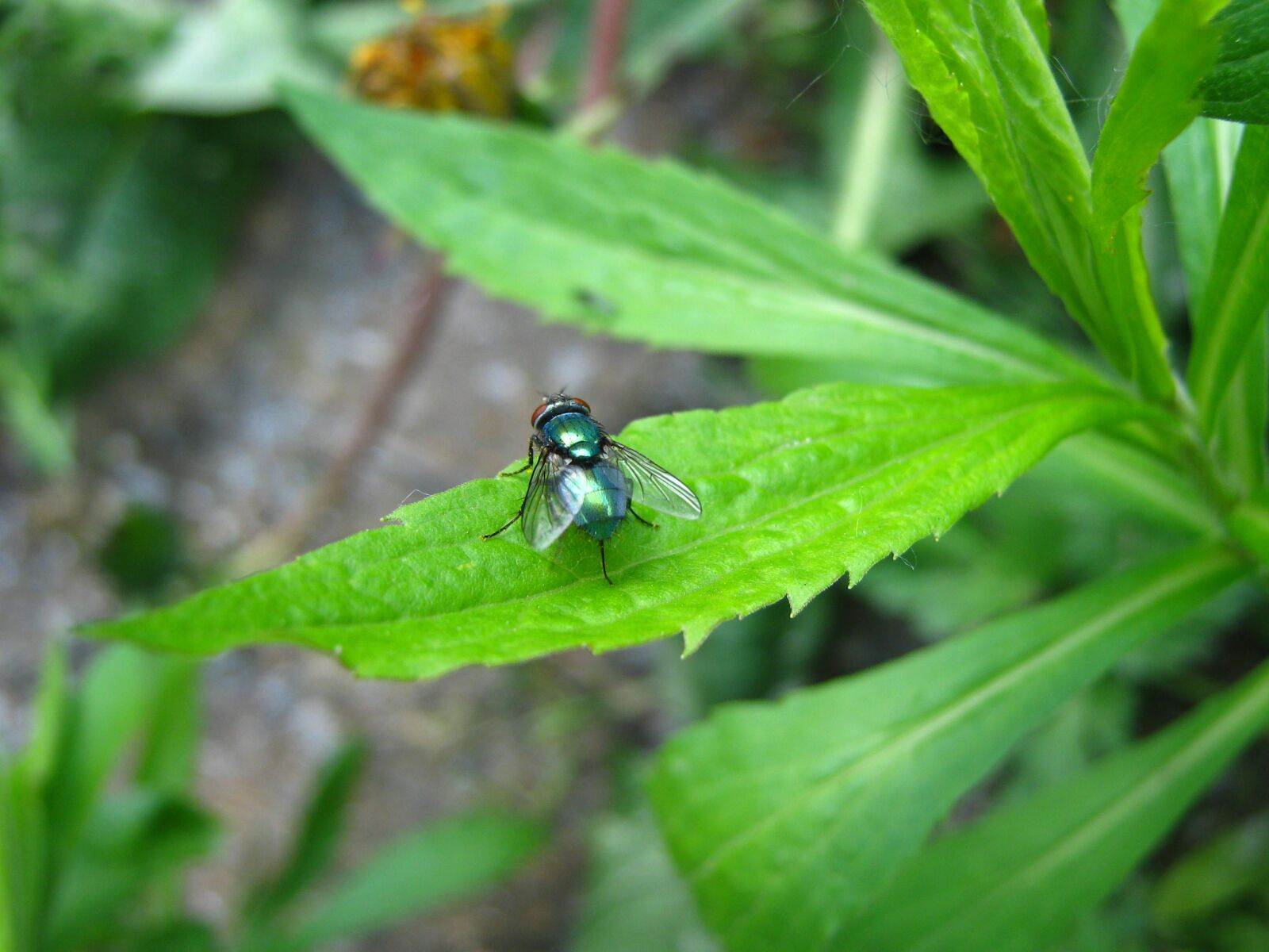 """Canon PowerShot A470 sample photo. """"Macro, fly, insect"""" photography"""
