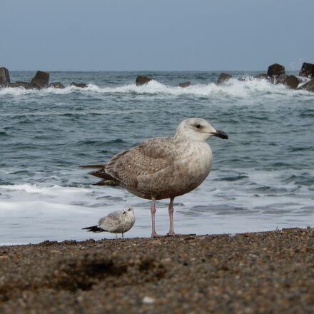 animal, sea, beach, Nikon COOLPIX A900