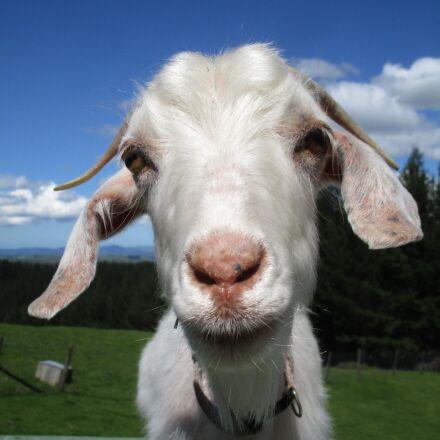 goat, stare, horns, Canon IXUS 155