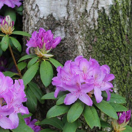 shrub, flower, rhododendron, Canon EOS 1100D