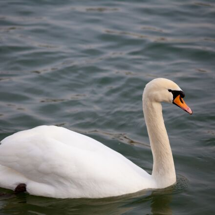 animal, bird, swan, Canon EOS 5D MARK II